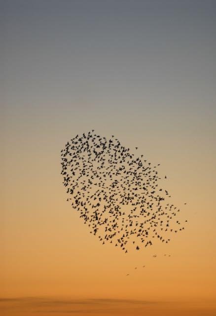 A murmuration  - a flock of starlings